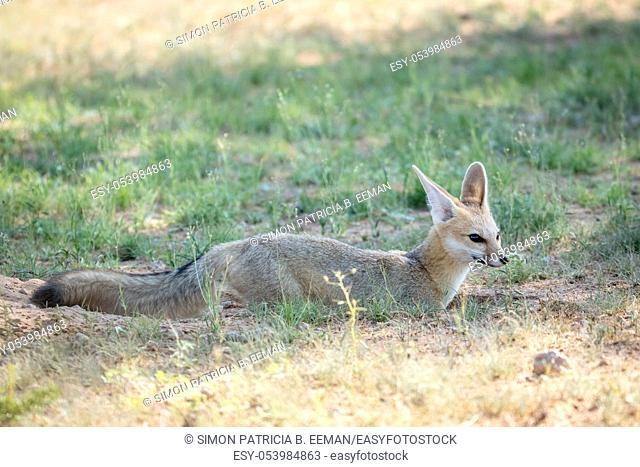 Cape fox standing in the sand in the Kalagadi Transfrontier Park, South Africa