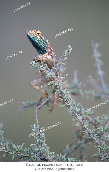Ground agama (Agama aculeta) - Male, on the branch of a bush, Kgalagadi Transfrontier Park, Kalahari desert, South Africa/Botswana
