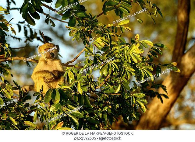 Chacma baboon or Cape baboon (Papio ursinus). Victoria Falls. Zambia