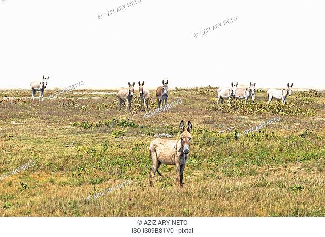 Donkeys in Jericoacoara national park, Ceara, Brazil, South America