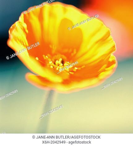 stunning orange poppy soft and ethereal in natural setting, garden flower