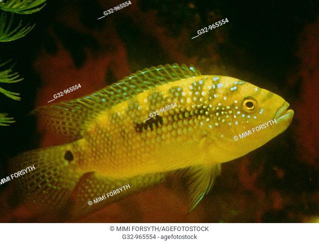 Electric Yellow Cichlid (Labidochromis caeruleus), small freshwater fish from Lake Malawi, East Africa