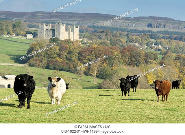 Traditional British cattle in wensleydale countryside, with Castle Bolton in background. North Yorkshire, UK. (Photo by: Wayne Hutchinson/Farm Images/UIG)