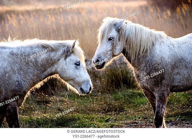 Camargue Horses, Saintes Marie de la Mer in the South of France