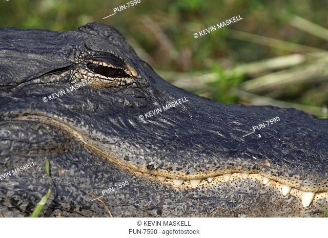American alligator Alligator mississippiensis head detail