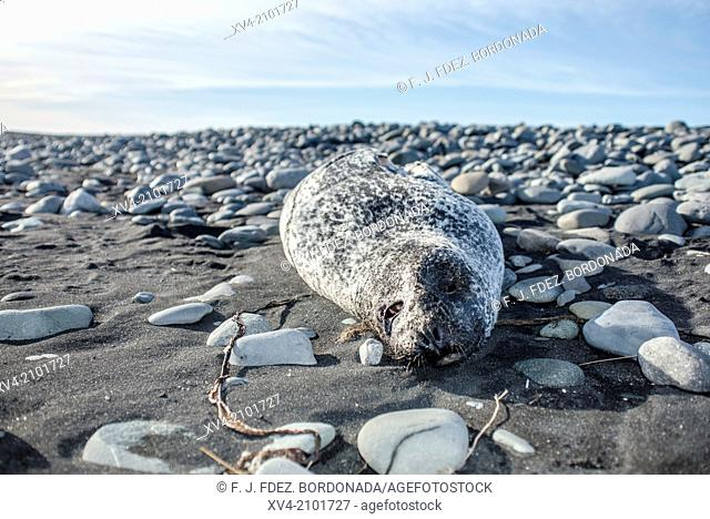 Dead seal stranded on shore, Iceland