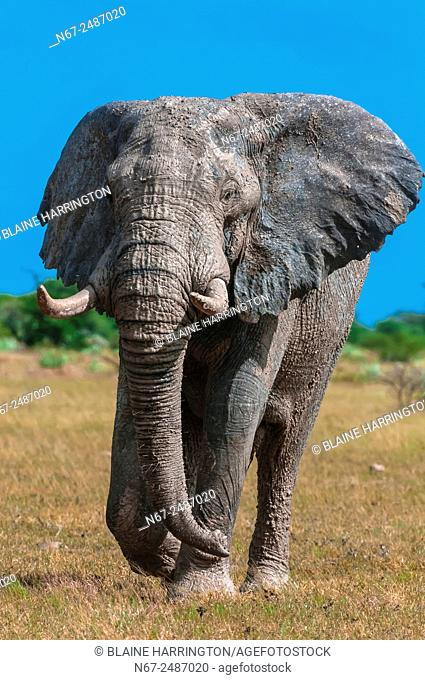 A muddy elephant, Nxai Pan National Park, Botswana. Elephants roll in mud to cool off and it is also for sun protection