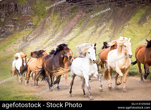 Icelandic Horse. Herd galopping on a path. Iceland