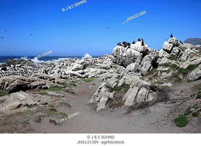 Stony Point, colony of seabirds, Betty's Bay, Western Cape, South Africa, Africa
