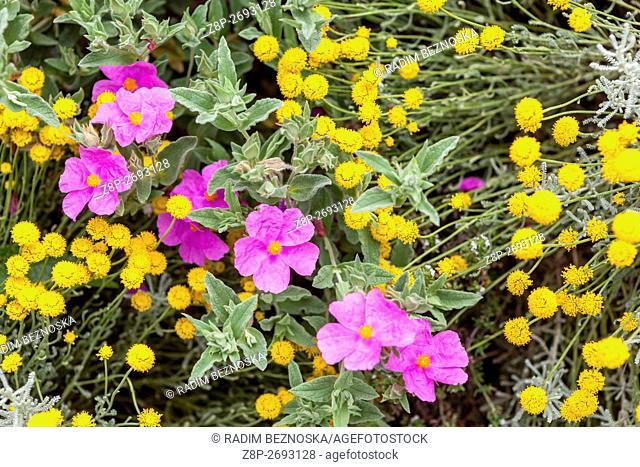 Yellow Santolina insularis and pink Cistus pulverulentus