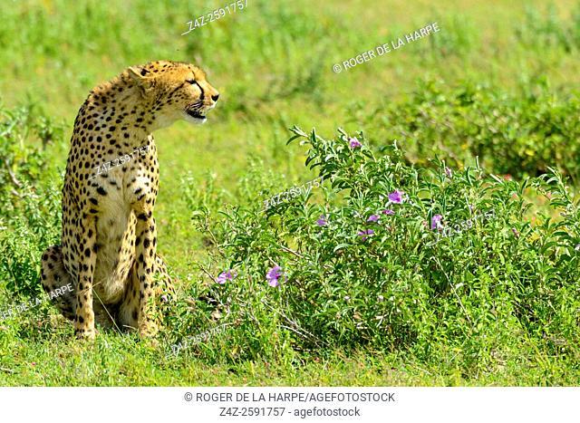 Cheetah (Acinonyx jubatus). Ngorongoro Conservation Area (NCA). Tanzania