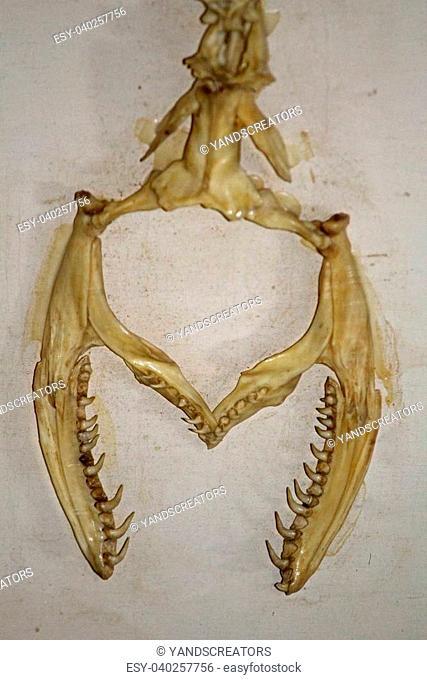 Skeleton of Burmese Python, Python molurus in a Museum, Miao, Arunachal Pradesh, India