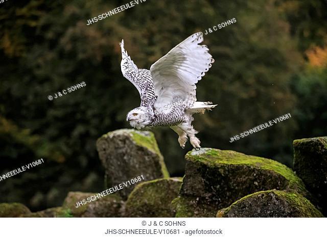 Snowy Owl, (Nyctea scandiaca), adult flying, Pelm, Kasselburg, Eifel, Germany, Europe