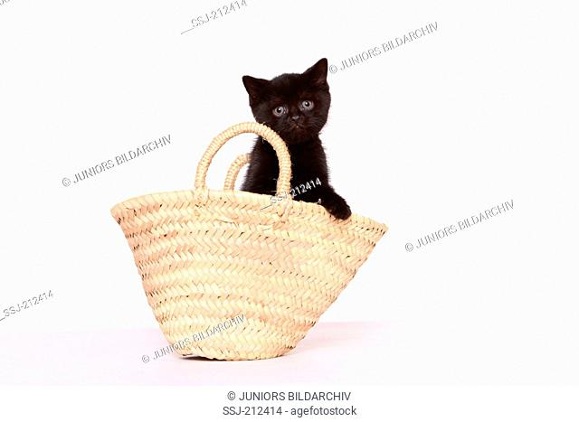 British Shorthair. Kitten (6 weeks old) standing in a shopping bag. Studio picture against a white background. Germany