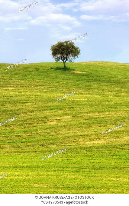 a tree on a field near Montalcino, Tuscany, Italy