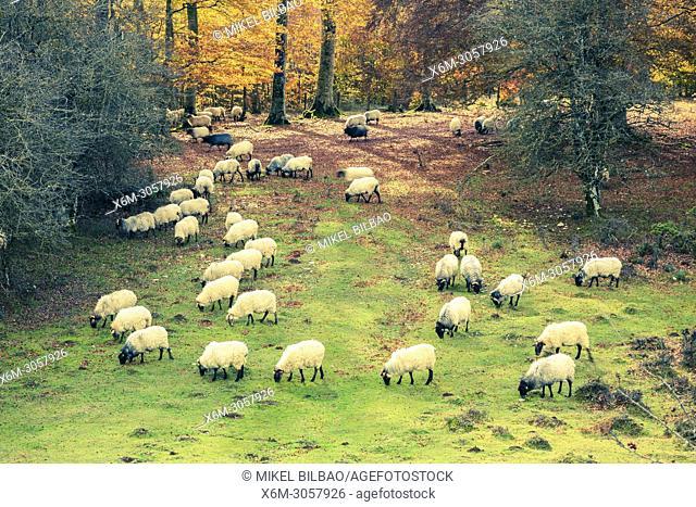 Flock of sheep. Parque Natural de la Sierra de Urbasa-Andia Natural Park. Navarre, Spain, Europe