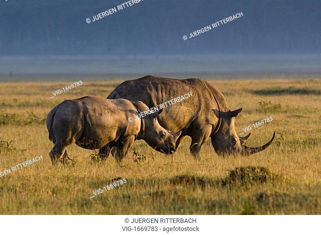 white rhino, Ceratotherium Simum, NAKURU NATIONAL PARK, KENYA, EAST Africa - NAKURU NATIONAL PARK, KENYA, 24/09/2008