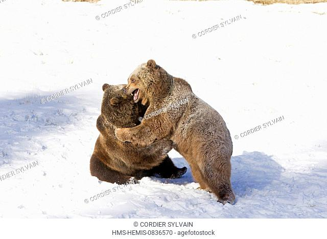 United States, Montana, Bozeman, Game Farm, Brown Bear, Grizzly (Ursus arctos horribilis), fighting