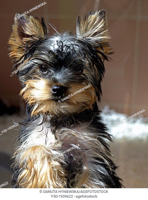 portrait of Yorkshire terrier puppy