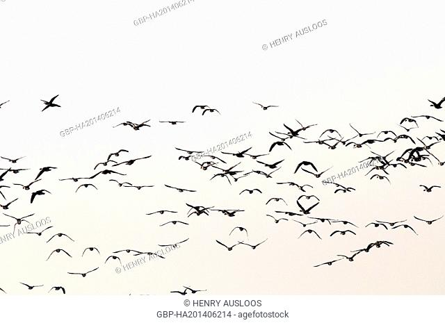 Greylag Goose (Anser anser) - Flight