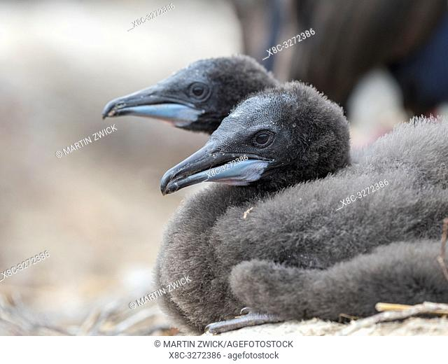 Chick in nest. Imperial Shag also called King Shag, blue-eyed Shag, blue-eyed Cormorant (Phalacrocorax atriceps or Leucarbo atriceps)