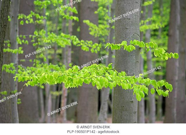 New leaves on European beech / common beech (Fagus sylvatica) trees in deciduous forest in spring