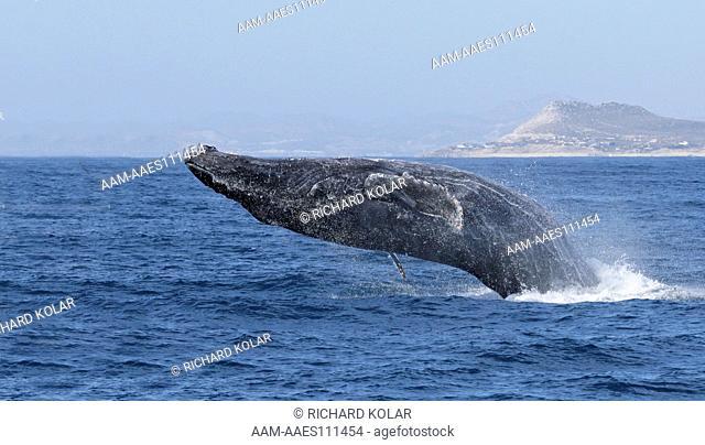 Humpback Whale Isla San Benitos Baja Mexico March 1, 2007 digital capture
