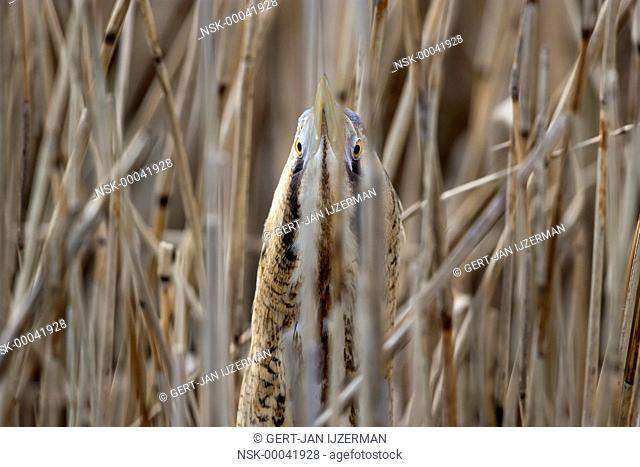 Great Bittern (Botaurus stellaris) hiding between reeds, looking at camera, The Netherlands, Overijssel, Kampen, IJsselmonding
