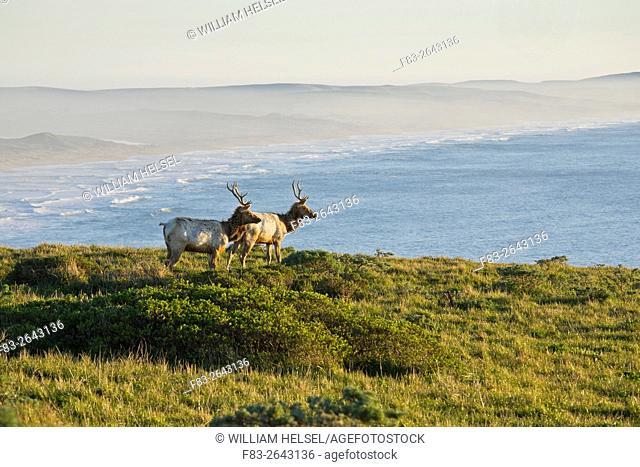 Point Reyes National Seashore, Marin County, California, USA, two young Tule elk bulls (Cervus nannodes) on ridge overlooking Pt. Reyes Beach, January
