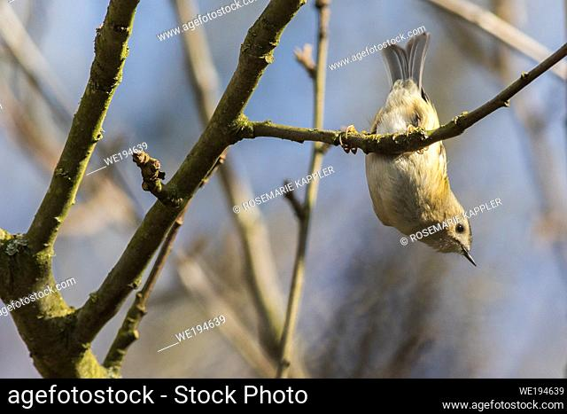 A Goldcrest is sitting on a branch