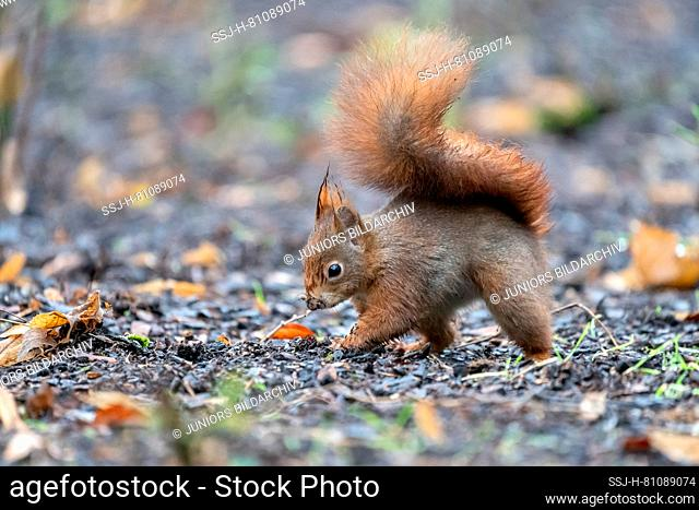 European Red Squirrel (Sciurus vulgaris). Young foraging on the ground. Germany