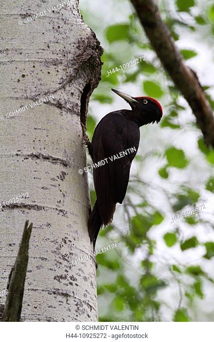 Graubünden, Grisons, Switzerland, animal, black woodpecker, dryocopus, martius woodpecker, bird, tree, birch