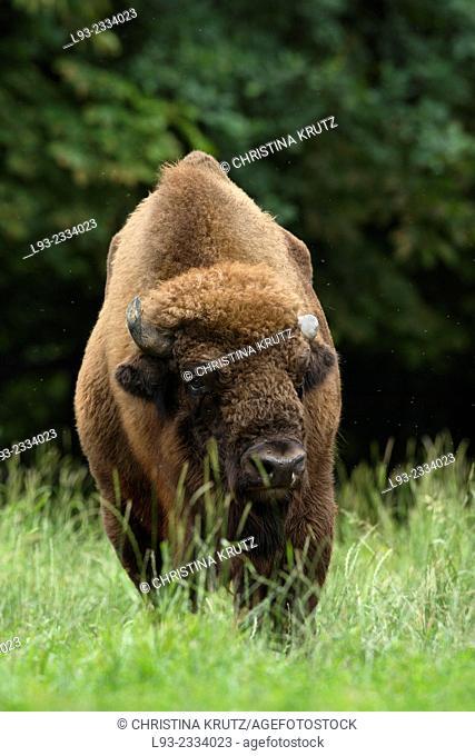 European Bison or Wisent (Bison bonasus), Germany