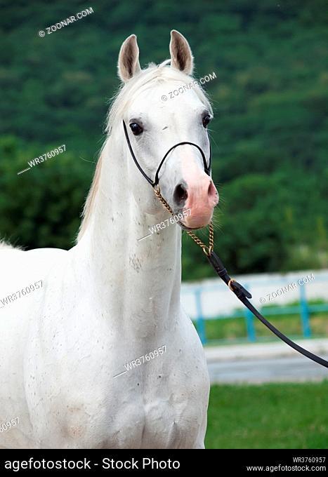portrait of white arabian stallion at forest background