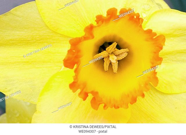 The fiery center of an orange trumpeted daffodil