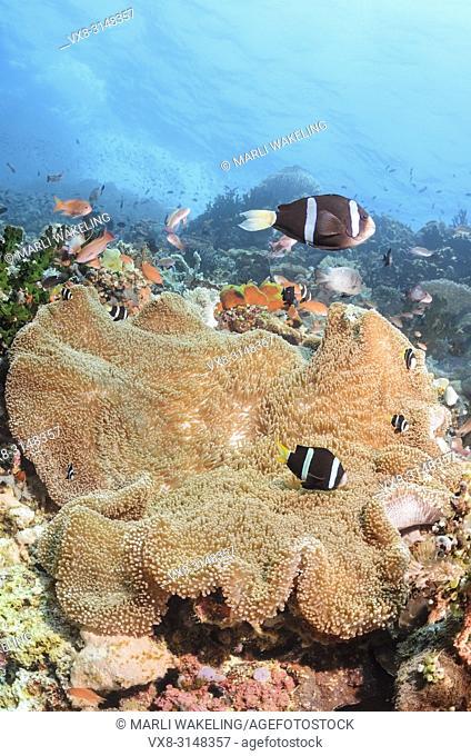 Clark's anemonefish, Amphiprion clarkii, Verde Island, Batangas, Philippines, Pacific