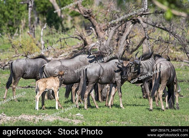 Wildebeests with babies on the floodplains in the Gomoti Plains area, a community run concession, on the edge of the Gomoti river system southeast of the...