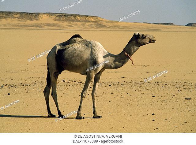Dromedary (Camelus dromedarius), Camelidae, along the track Wadi Halfa-Daraw, between Egypt and Sudan, Eastern Sahara, Egypt