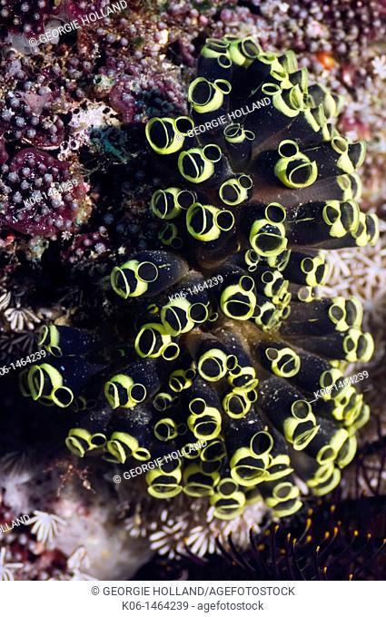Tunicates or sea squirts Clavelina robusta  Misool, Raja Ampat, West Papua, Indonesia
