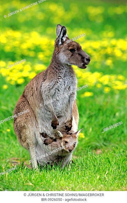 Kangaroo Island Kangaroos (Macropus fuliginosus fuliginosus), female with joey in the pouch, South Australia, Australia