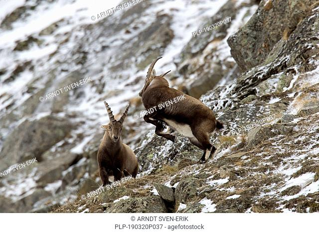 Two young Alpine ibex (Capra ibex) males fighting on mountain slope during the rut in winter, Gran Paradiso National Park, Italian Alps, Italy