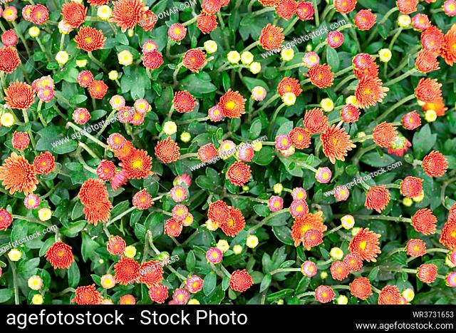 Closeup of natural red orange chrysanthemum under the soft end of summer light