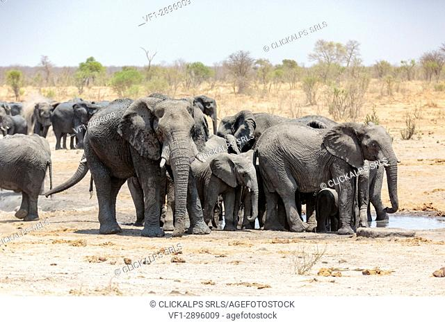 Herd of elephants. Kalahari, Namibia