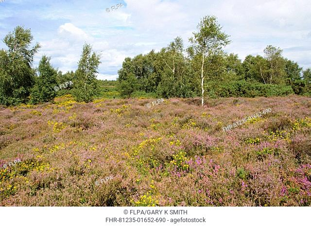 Heather and gorse habitat, with silver birch scrub, Kelling Heath, North Norfolk, England, august