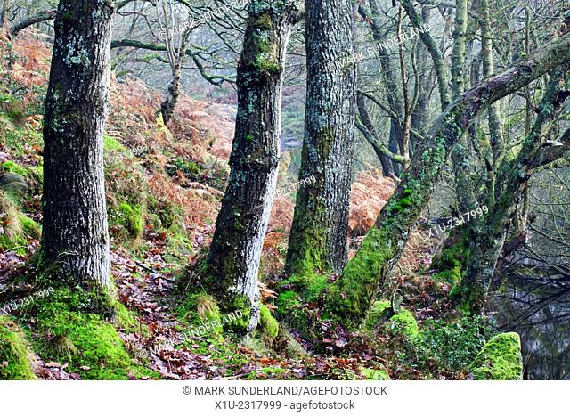 Trees with Moss and Lichen in Guidecliff Wood near Pateley Bridge North Yorkshire England