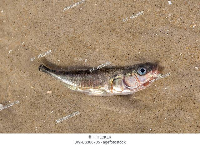 three-spined stickleback (Gasterosteus aculeatus), dead stickleback, died by loss of oxygen, Germany