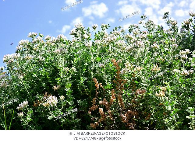Hairy Canary-clover (Dorycnium hirsutum or Lotus hirsutus) is a subshrub native to Mediterranean Basin, Canary Islands and northern Africa