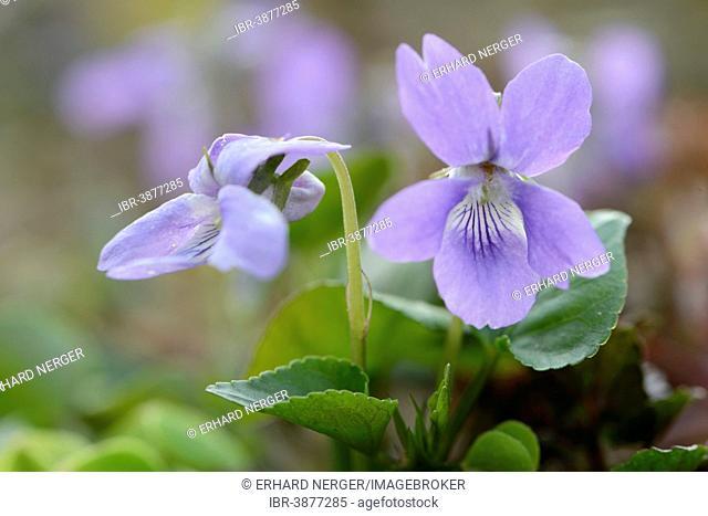 Dog Violet (Viola canina), Emsland, Lower Saxony, Germany