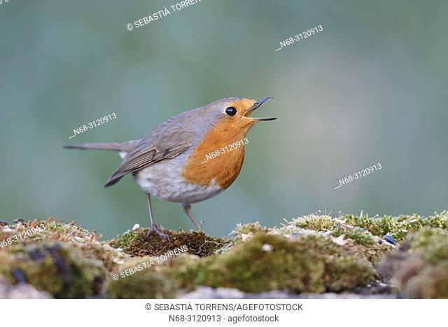 European robin (Erithacus rubecula), Alcudia, Majorca, Balearic Islands, Spain
