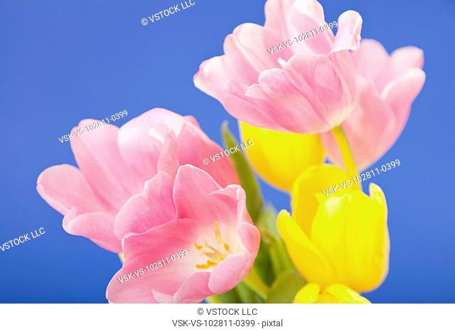 Close-up of pink and yellow tulips against blue background
